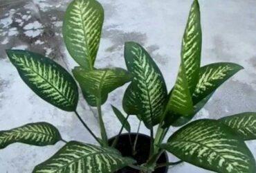 Har du den här växten hemma? I så fall bör du göra dig av med den DIREKT, den kan vara livsfarlig!