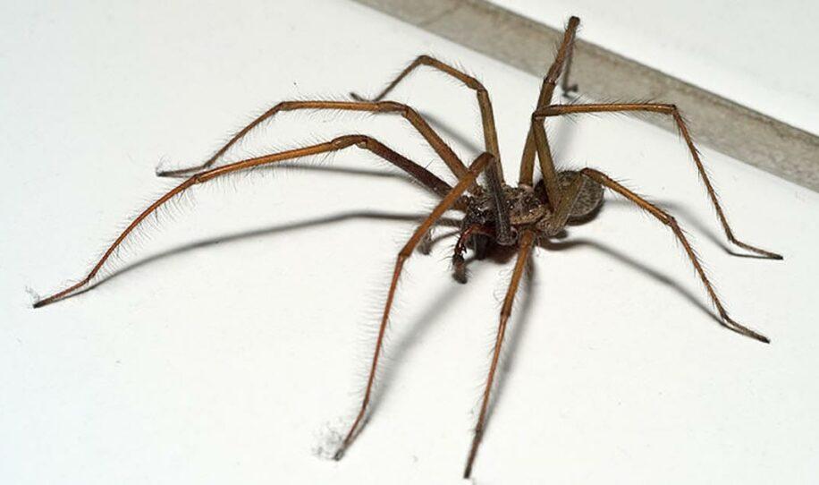 """Enorma spindlar invaderar svenska hem – """"10 cm långa"""""""